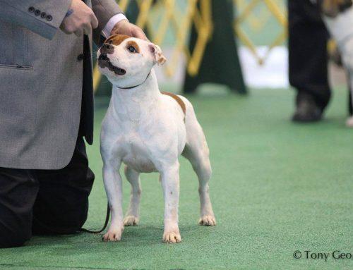 The Staffordshire Bull Terrier – AKC Standard