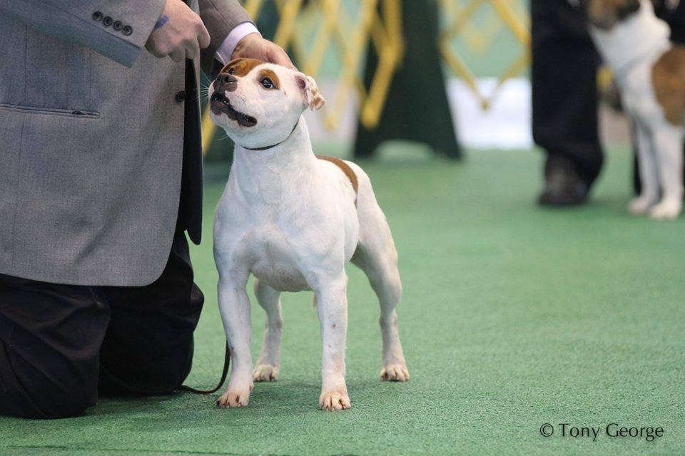 Example of Staffordshire Bull Terrier for the Breed Standard.