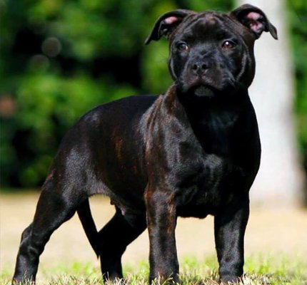 Brindled Staffordshire Bull Terrier.